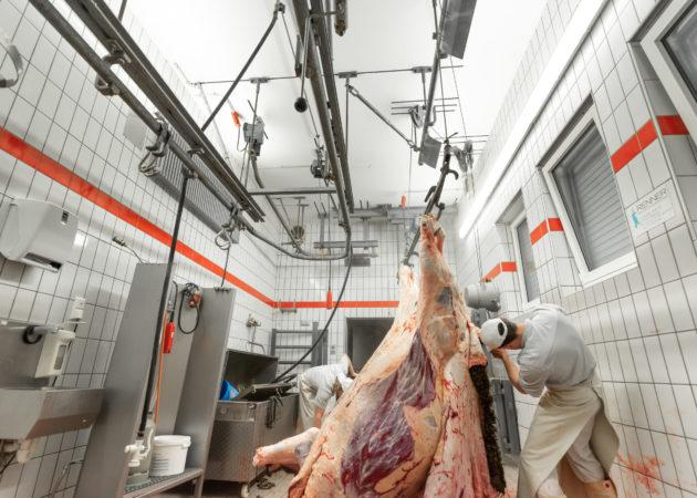 Schlachtung eines Rindes